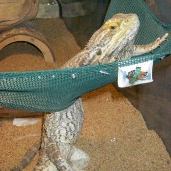 Puddy, our bearded dragon, died He was about 11 ye